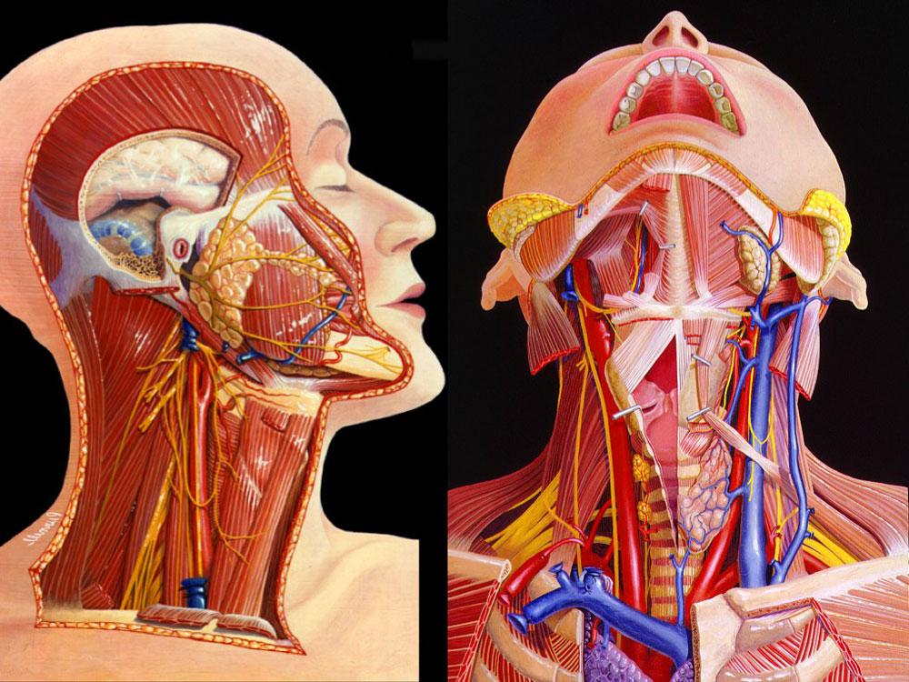 Шея анатомия в картинках